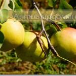 Груши домашние, естественного выращивания