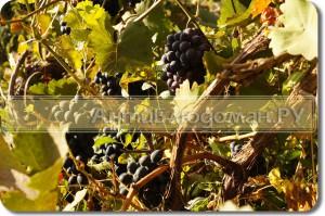 Виноград выращен без химии
