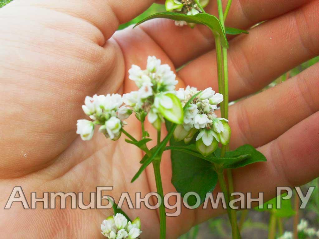Зеленая гречка - новый урожай!